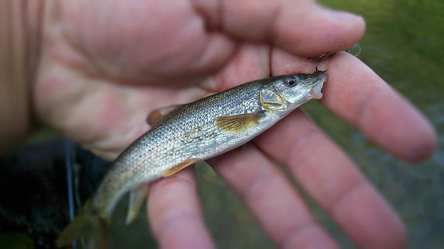 Wędka zadebiutowała  sporą ilością takiej wielkości rybek